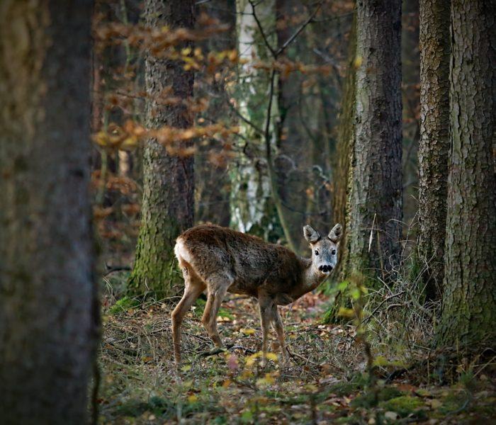 Srnečka z Kunratického lesa